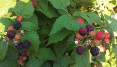 Survivor Farm for Berry Picking