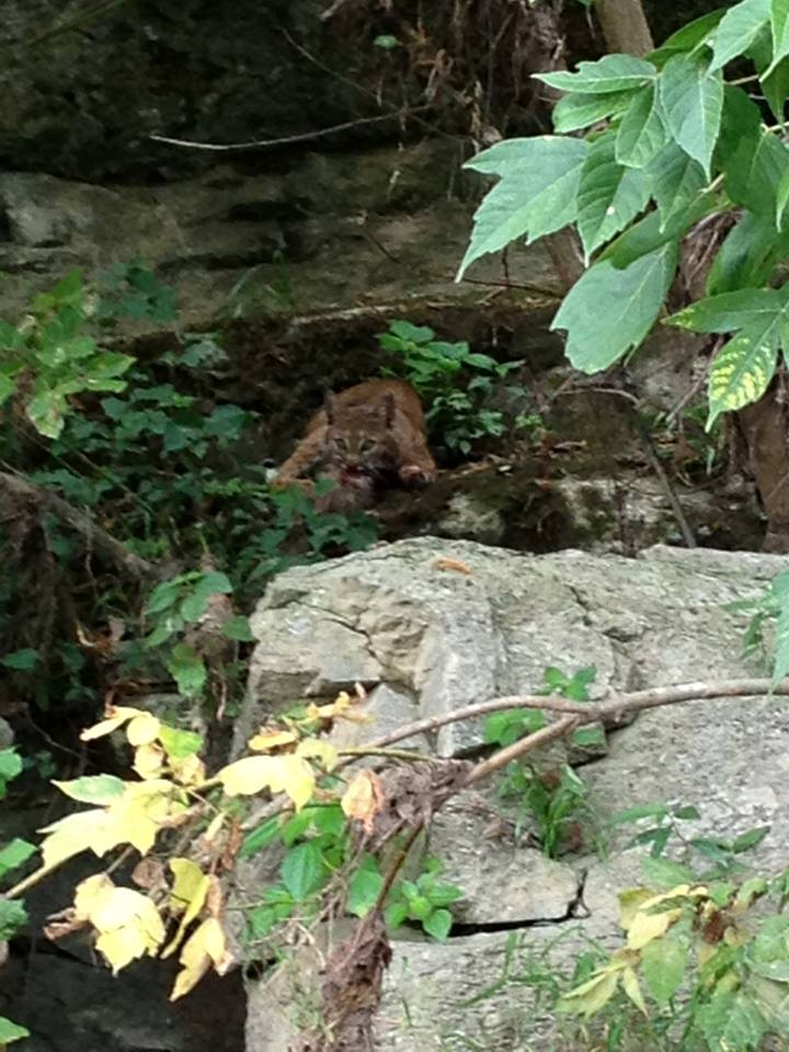 Young Bobcat by River