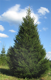 Christmas trees in Luray